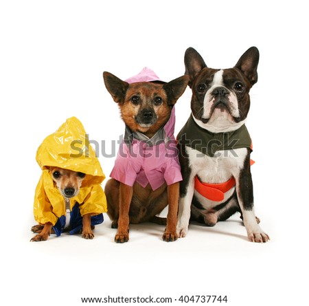 two cute chihuahuas and a boston terrier in rain jackets isolated on a white background in the studio - stock photo