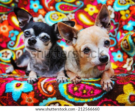 two cute chihuahuas on a paisley blanket  - stock photo