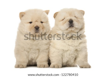two cute chow-chow puppies isolated over white background - stock photo
