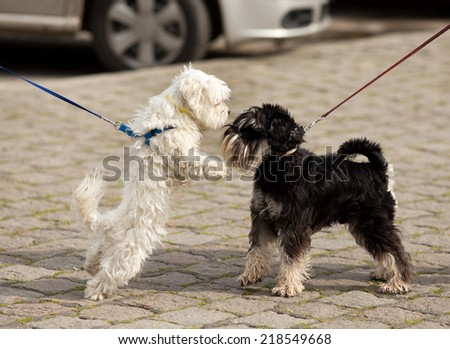 Two cute dogs on leashes meeting and sniffing on street - stock photo