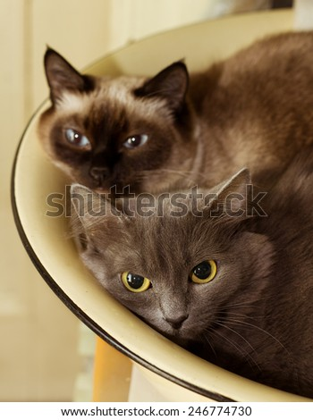 Two cute domestic short hair cats snuggle with one another in enameled basin