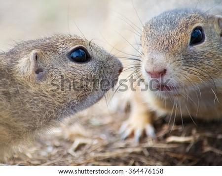 Two cute European Ground Squirrels - stock photo