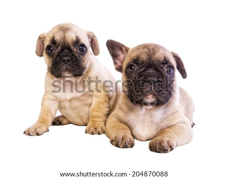 Two cute fawn french bulldog puppies with black mask isolated on white - stock photo