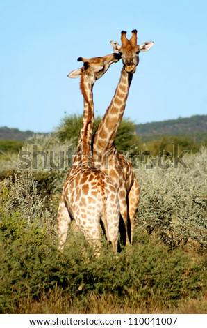 Two cute Giraffes (Giraffa camelopardalis) showing affection. Taken at Etosha, Namibia, Southern Africa.