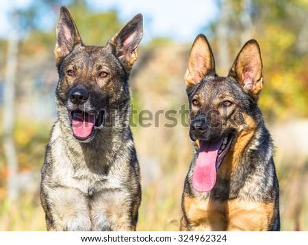 Two cute grey german shepherd dogs closeup portrait - stock photo