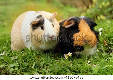 Two cute guinea pigs