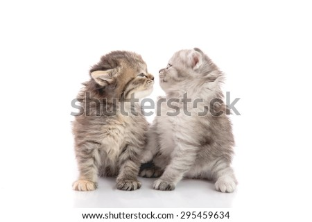 Two cute kitten kissing on white background isolated - stock photo
