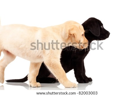 two cute labrador puppies - both very curious , looking at something to their side