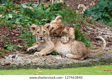 two cute lion cubs playing - stock photo