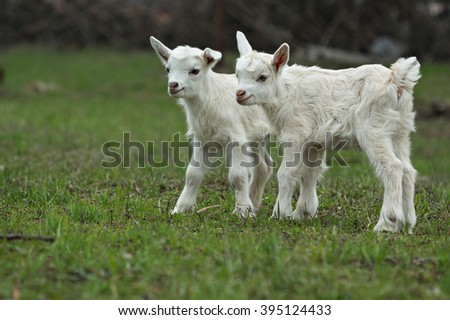 Two cute little five-day old kids standing on green grass. Selective focus image