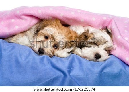 Two cute little Havanese puppies are lying and sleeping on a bed under a pink blanket. Isolated on a white background  - stock photo
