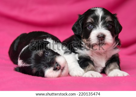Two cute little havanese puppies dog are lying on a soft pink bedspread, one looking at camera