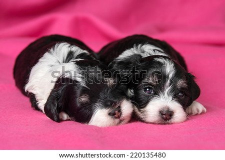 Two cute little havanese puppies dog are lying on a soft pink bedspread, one looking at camera - stock photo