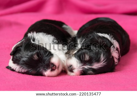 Two cute little havanese puppies dog are sleeping on a soft pink bedspread