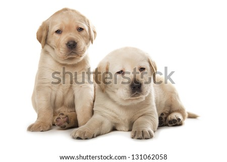 two cute little Labrador Retriever puppies isolated over white background - stock photo