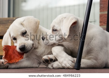 two cute little young labrador dog puppies play, eat and cuddle together