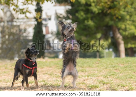 Two cute mini dogs play at a park. - stock photo