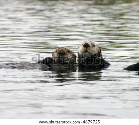Two cute otters in the water - stock photo