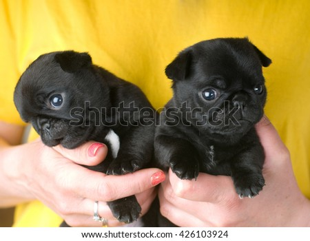Two cute pug puppies