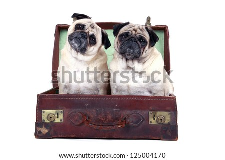 Two cute Pugs sitting in an old weathered suitcase and isolated on a white background. - stock photo
