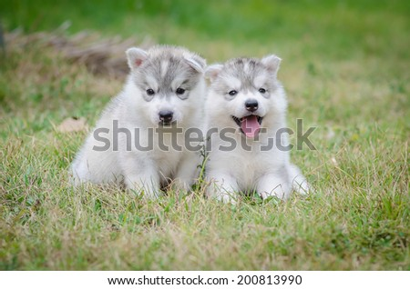 Two cute puppies  siberian husky on grass
