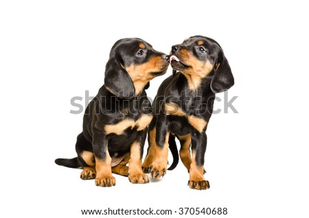Two cute puppy breed Slovakian Hund isolated on white background  - stock photo