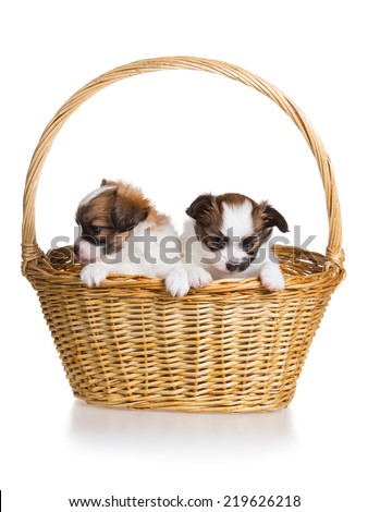 Two cute puppy of breed papillon in wicker basket on white background - stock photo
