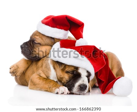 two cute puppy with santa hat. isolated on white background - stock photo