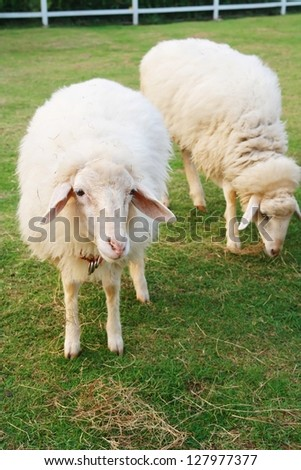 two cute sheep in field, long wool hair sheep in meadow eating grass in grassland farm, landscape of grass field , alive eye animal background, livestock product