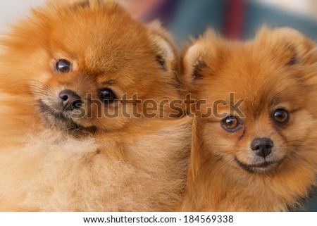 two cute spitz-dogs looking at camera - stock photo