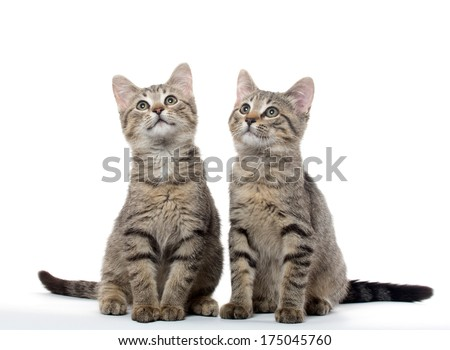 Two cute tabby American shorthair kittens on white background - stock photo