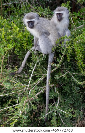 Two cute vervet monkeys with little faces and grey fur climbing in a tree