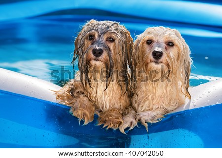 Two cute wet havanese dog rely on the edge of an inflatable outdoor pool in a hot summer afternoon - stock photo