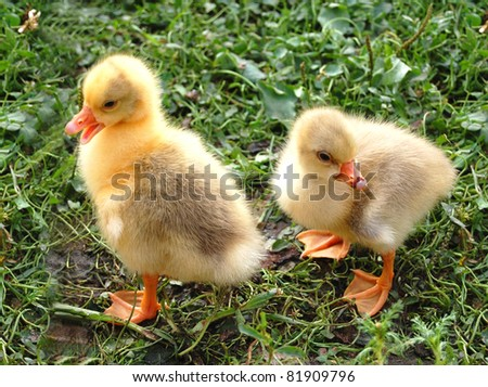 two cute yellow ducklings on grass