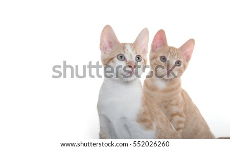 Two cute yellow tabby shorthair kittens isolated on white background