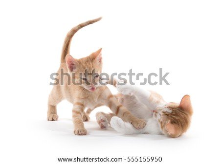 Two cute yellow tabby shorthair kittens playing and fighting on white background