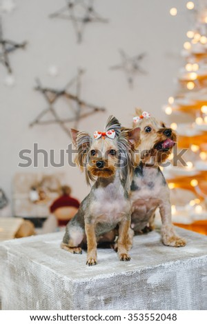 Two Cute Yorkshire Terrier in front of Christmas decor - stock photo