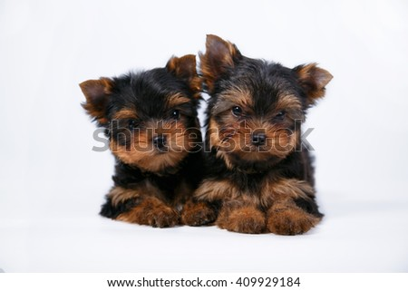 Two cute Yorkshire Terrier puppy lying on a white background - stock photo