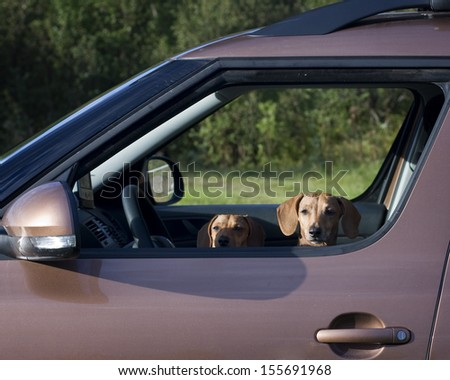 Two dachshund dog look out the car window - stock photo