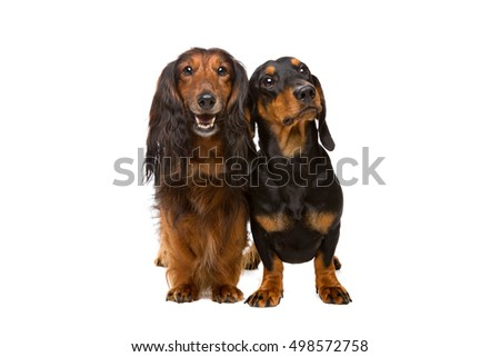 Two dachshund dogs in front of a white background