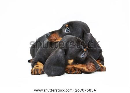 two dachshund puppies - stock photo
