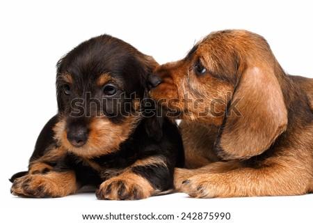 Two Dachshund puppies lies on white background - stock photo