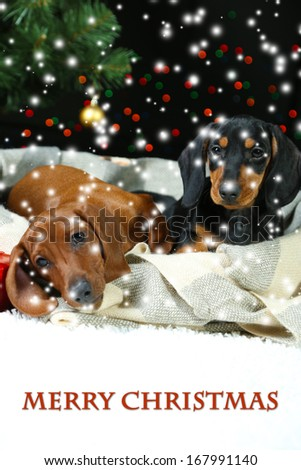Two Dachshund puppies on Christmas background - stock photo