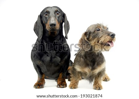 Two Dachshund sitting in the white studio - stock photo