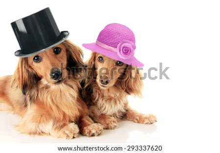 Two dachshunds, a male and female wearing a top hat and straw hat. Love and marriage concept.  - stock photo