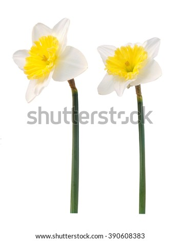 two daffodil flower isolated on white background