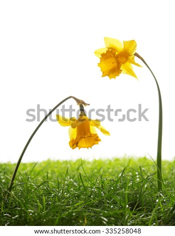 Two daffodil flowers and green grass studio isolated