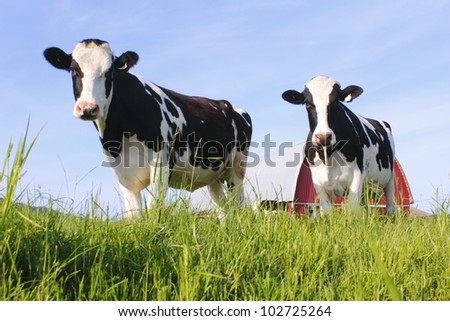 Two dairy cows stand in a pasture/Two dairy Cows/Two curious and healthy dairy cows - stock photo