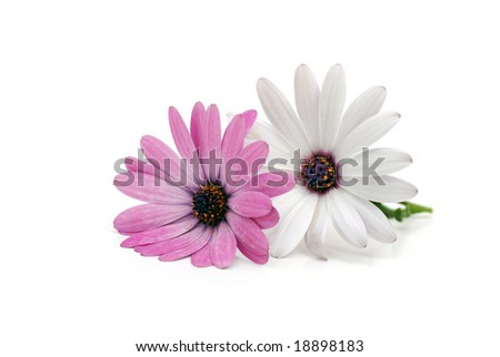 Two daisies isolated on white