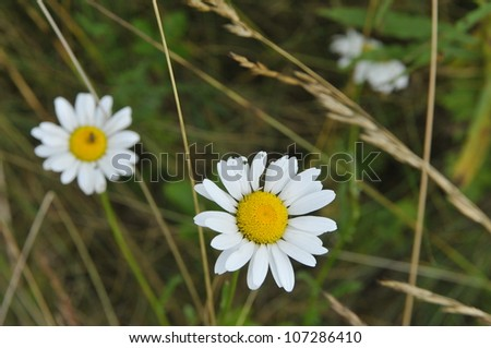 Two daisies on field - stock photo